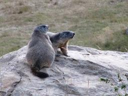 Les marmottes aux aguets