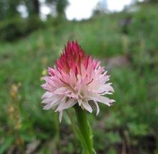 La nigritelle, une petite orchidée des Alpes du sud