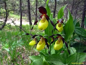 Le sabot de Vénus, peut-être la plus belle des orchidées de nos montagnes, à ne jamais cueillir.