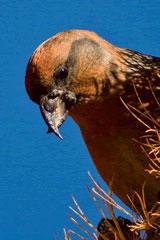 Ecco qualcuno che ama i pinoli : il becco crociato degli abeti di cui il becco è particolarmente adattato alla loro estrazione.