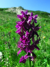 Orchide alpestre