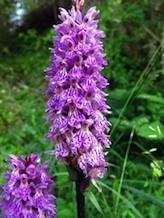 Orchide di Fuchs