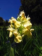 Orchis sureau jaune. Il existe aussi une forme rouge.