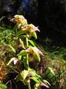 Epipactis à feuilles distantes