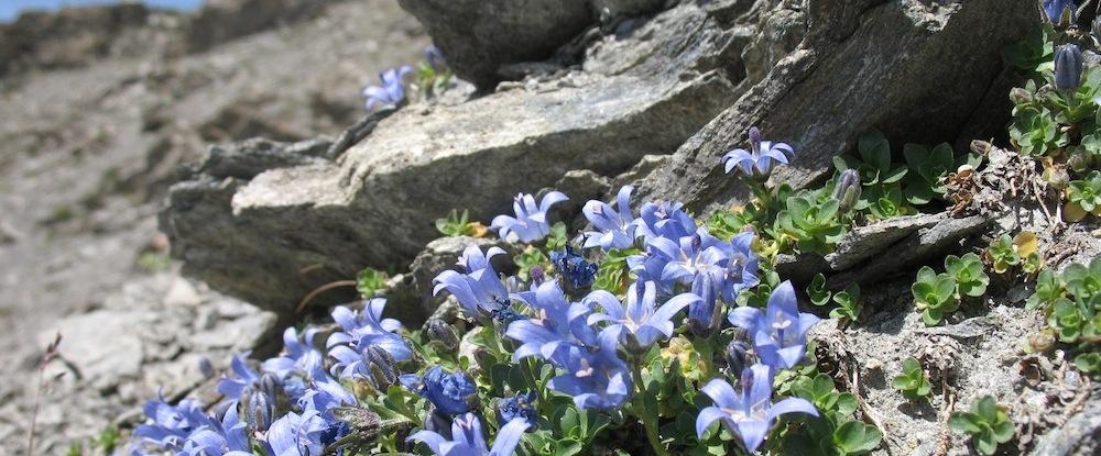Rochers fleuris dans le Parc naturel du Queyras