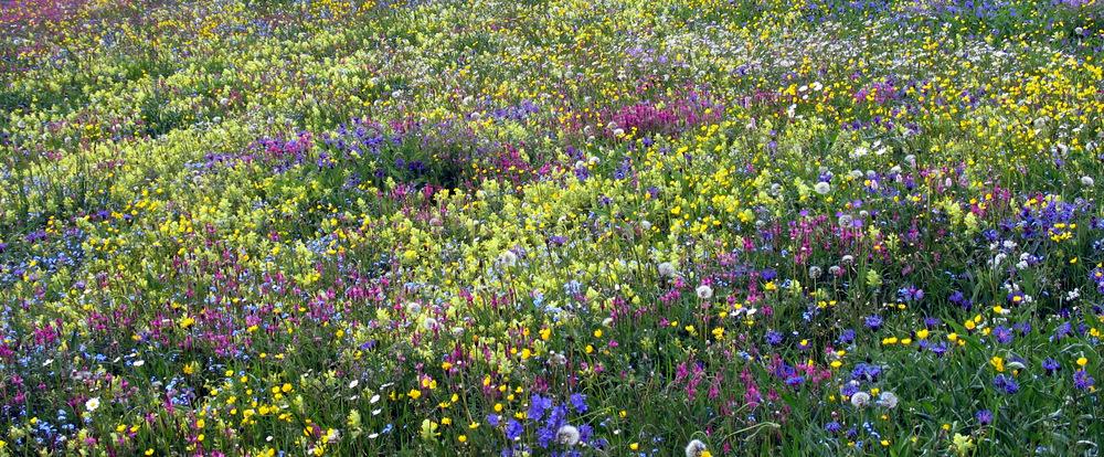 Prairie fleurie dans le Parc naturel du Queyras