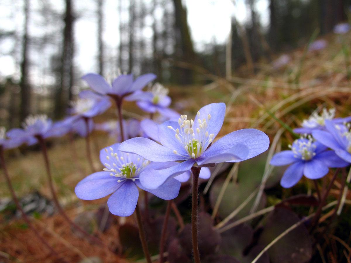 Fleur De Sous Bois Bleue flore et fleurs du queyras, joyau des hautes alpes