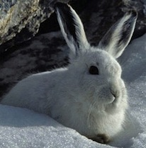 A mountain hare