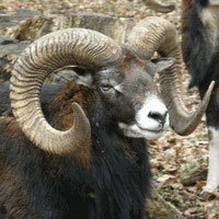 A mountain sheep