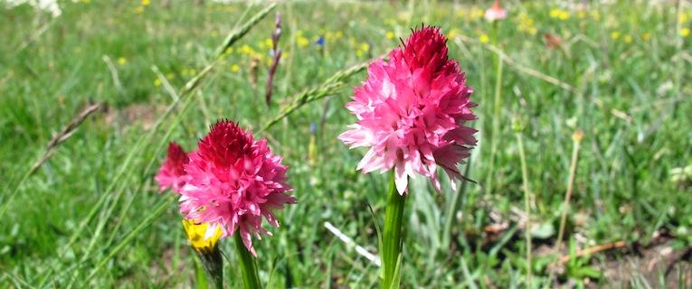 Orchideen der Almen (Queyras)