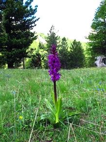 Orchide maschia
