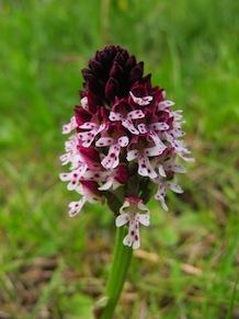 Orchide bruciacchiata