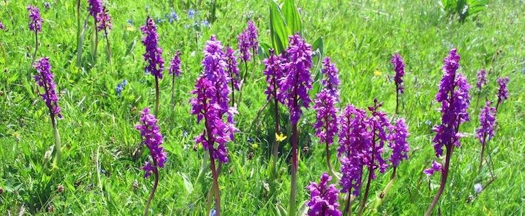 Orchidee delle praterie (Queyras)
