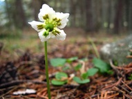 One-flowered wintergreen