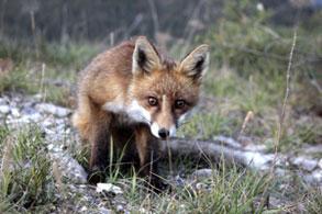 Un jeune renard du Queyras