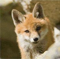 Un jeune renard des Hautes Alpes