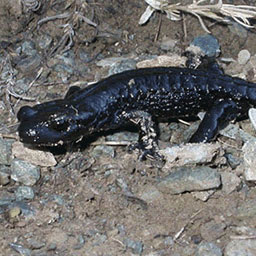La salamandre de Lanza un des joyaux de Ristolas