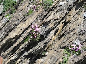 Schistes plissés visibles à Saint-Véran