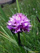 Orchis globuleux
