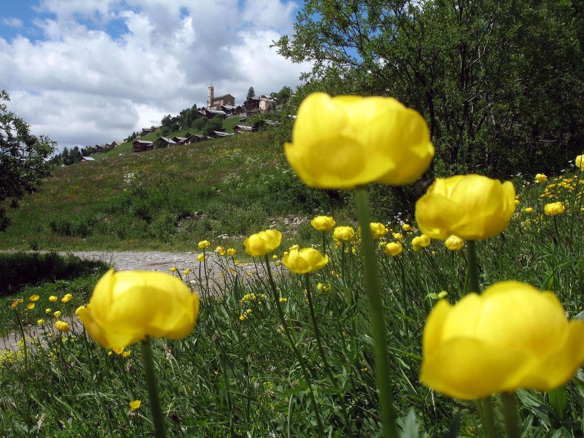 Flore et fleurs du queyras joyau des hautes alpes for Site de fleurs