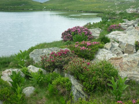 Rhododendron al lago di Clausis a Ceillac (Queyras)