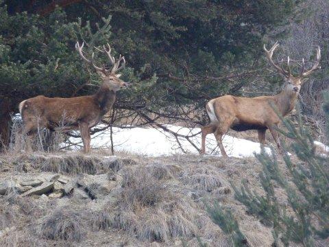 Deux cerfs dans le Queyras (Hautes Alpes)