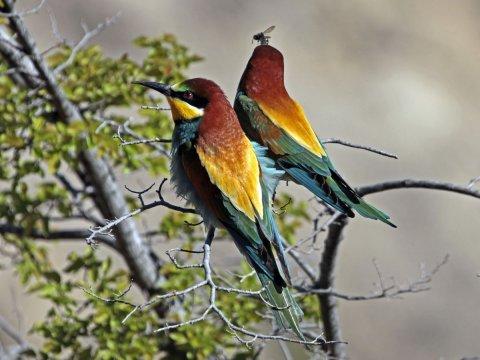 Guèpiers (chasseurs de guèpes) ou chasseurs d'Afrique (pour leur plumage bariolé) - Queyras, Hautes Alpes