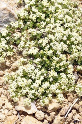 Gallium pumilum
