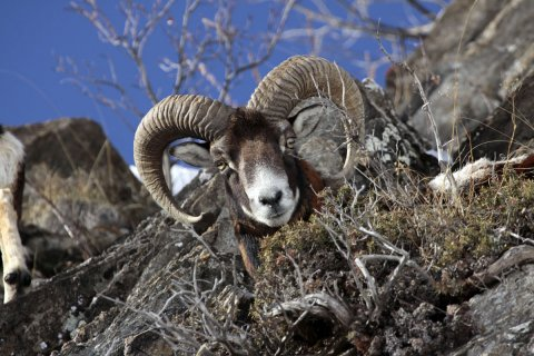 Mouflon dans le Queyras (Hautes Alpes)
