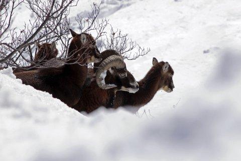 Mouflons dans le Queyras (Hautes Alpes)
