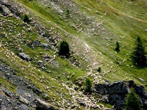 Ein Paar Schafe im Queyras