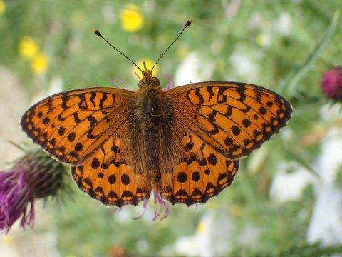 Un papillon (Grand Nacré) à Arvieux