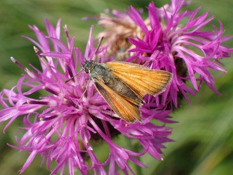 Un papillon (Hespérie) à Arvieux