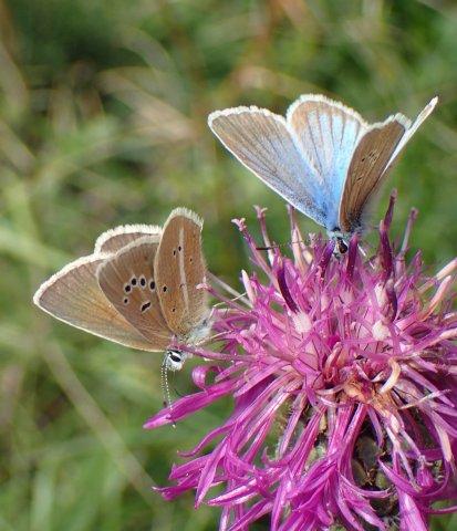 Un papillon (Sablé du sainfoin) du Queyras
