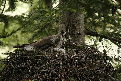Rapace au nid avec ses petits