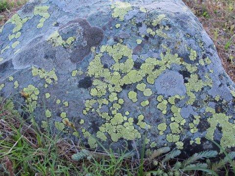 Bloc de quartzite couvert de son lichen jaune caractéristique, Rhizocarpon geographicum