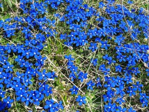 Frühlings-Enziane in Arvieux (Queyras, Hautes Alpes)