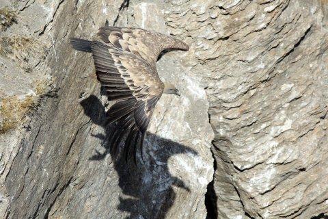 L'avvoltoio fulvo ne visita nelle Alte Alpi