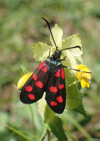 Un papillon (Zygène) du Queyras