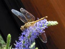 Une libellule au lac de Roue (Arvieux)