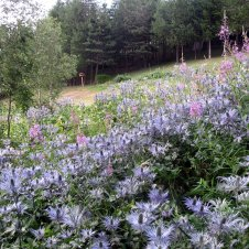 champs de chardons bleus jardin chalet rochebrune