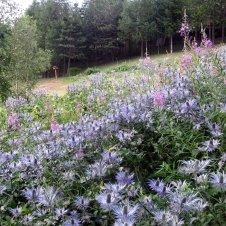 chardons bleus des alpes