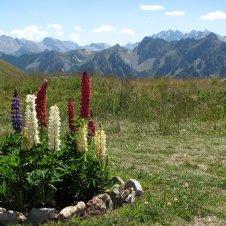 Floraison estivale aux alpages de Furfande-Panorama sur la Font-Sancte